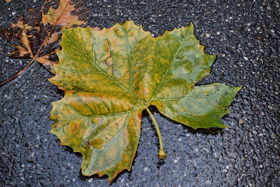 Leaf, Autumn, Rain, Asphalt, Tree, Nature, Fall