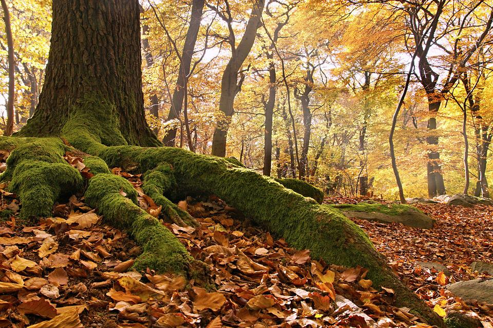Beech Forest, Roots, Autumn, Nature, Tree, Leaves