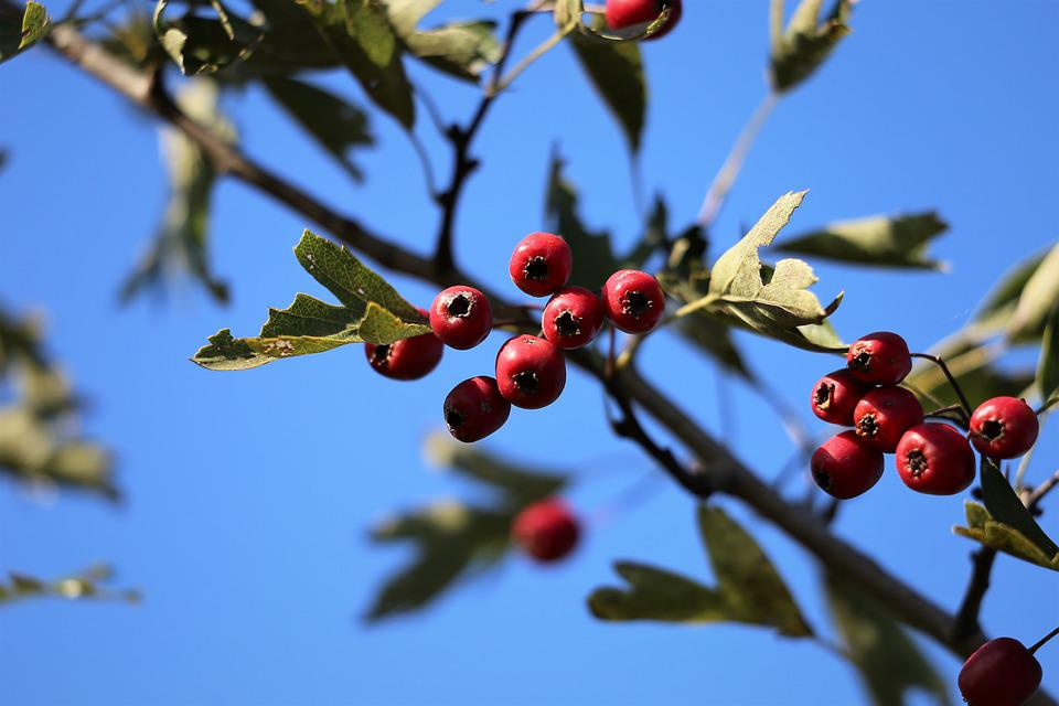 Hawthorn, Red, Berries, Branch, Tree, Autumn, Nature