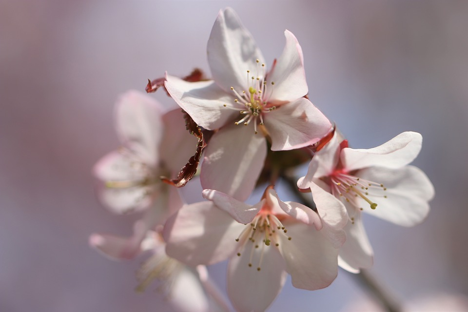 Sakura, Cherry, Spring, Bloom, Tree, Nature, Pastel