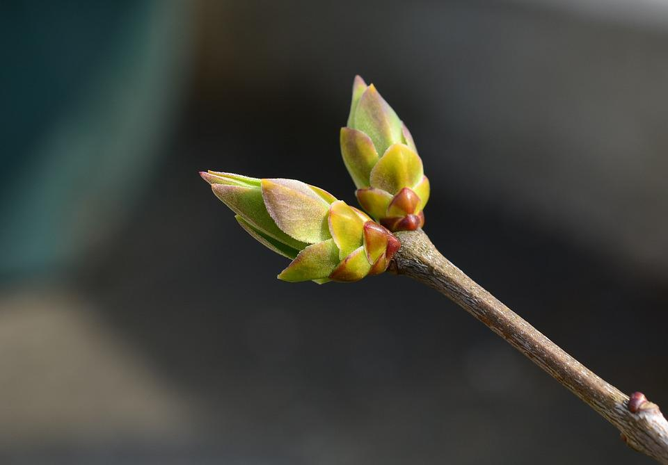 Bud, Spring, Lilac, Tree, Branch, Close, Macro, Nature