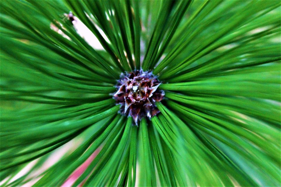 Green, Brown, Pine, Cone, Pine Cone, Tree, Wood, Nature