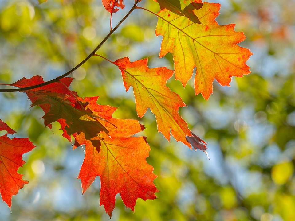 Leaves, Fall Color, Colorful, Tree, Nature