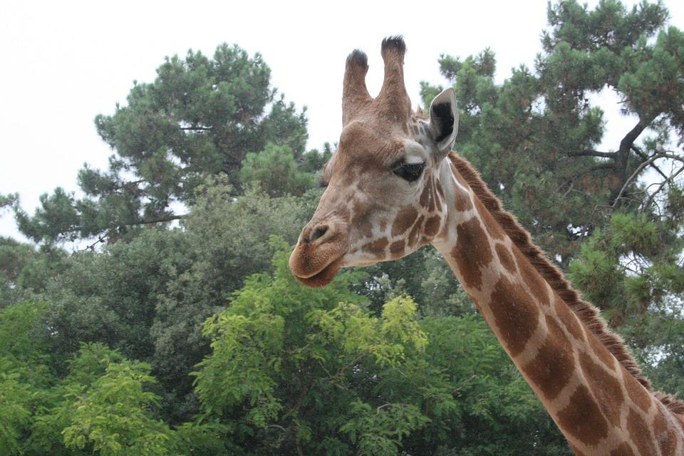 Giraffe, Tree, Nature