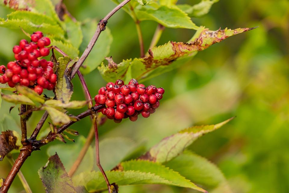 Berries, Tree, Leaves, Green, Nature