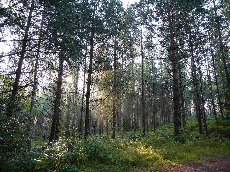 Forest, Light, Nature, Tree, Pine