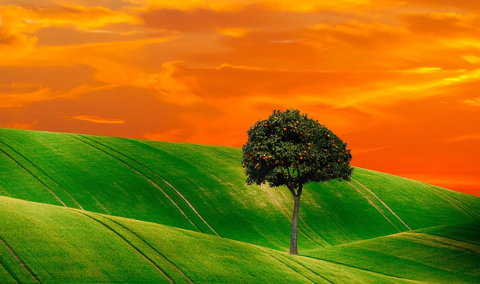 Orange Tree, Tree, Nature, Fruits, Plant, Evergreen