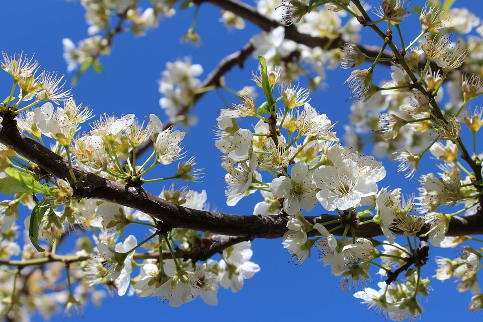 Tree, Branch, Flower, Sky, Nature, Plum