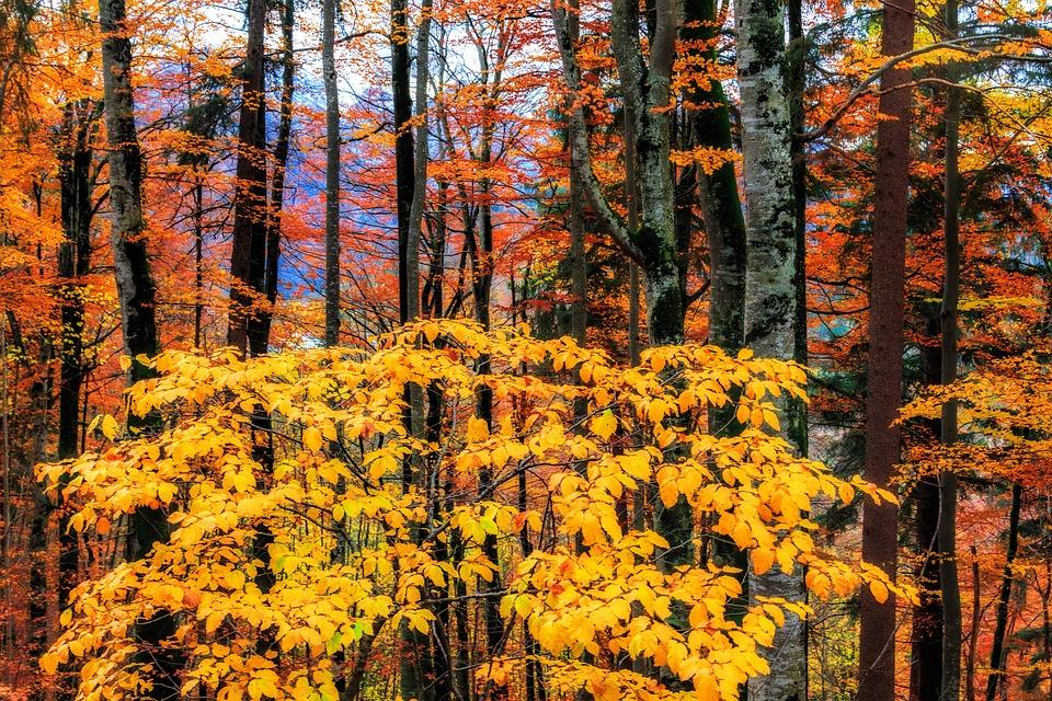 Autumn, Forest, Leaves, Leaf, Season, Nature, Tree