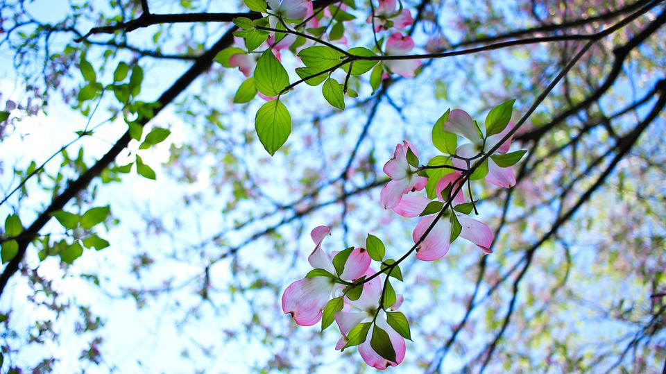 Flowers, Tree, Blossom, Spring, Pink, Bloom, Nature