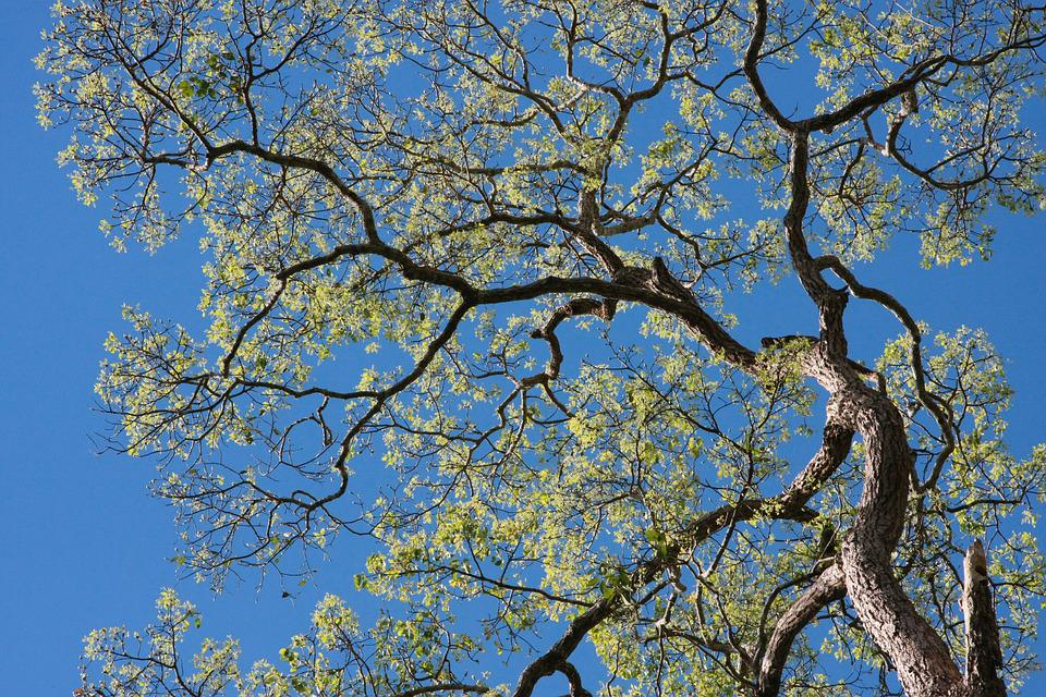 Tree, Tree Branches, Forest, Nature, Plant