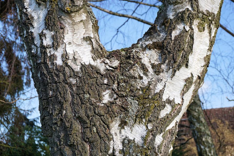 Tree, Log, Birch, Nature, Tribe, Bark