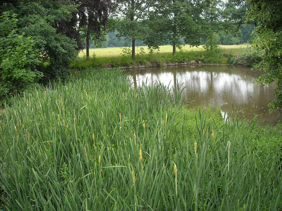 Nature, Green, Pond, Trees, Reed, Grass, Garden, Water
