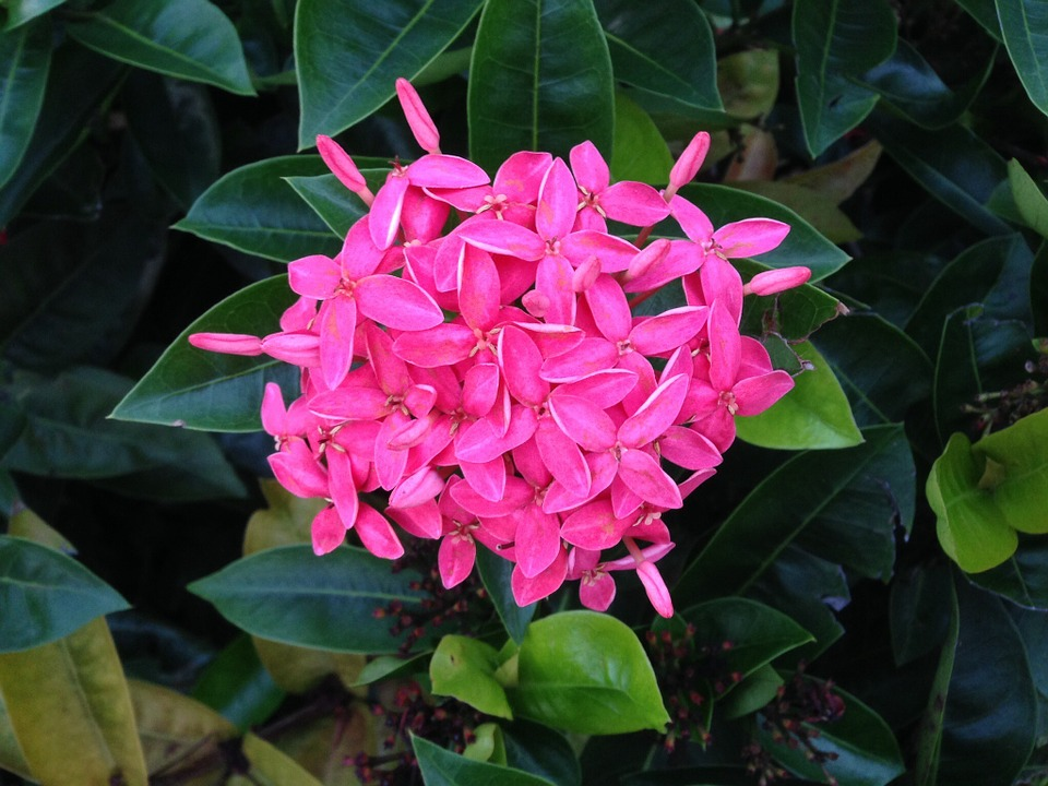 Free photo nature tropical plants pink flower penta max pixel penta pink plants flower nature tropical mightylinksfo
