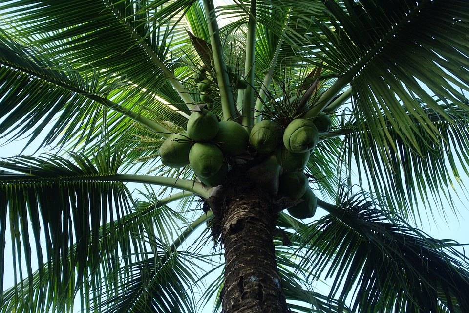 Palm, Tree, Tropical, Summer, Nature, Suriname