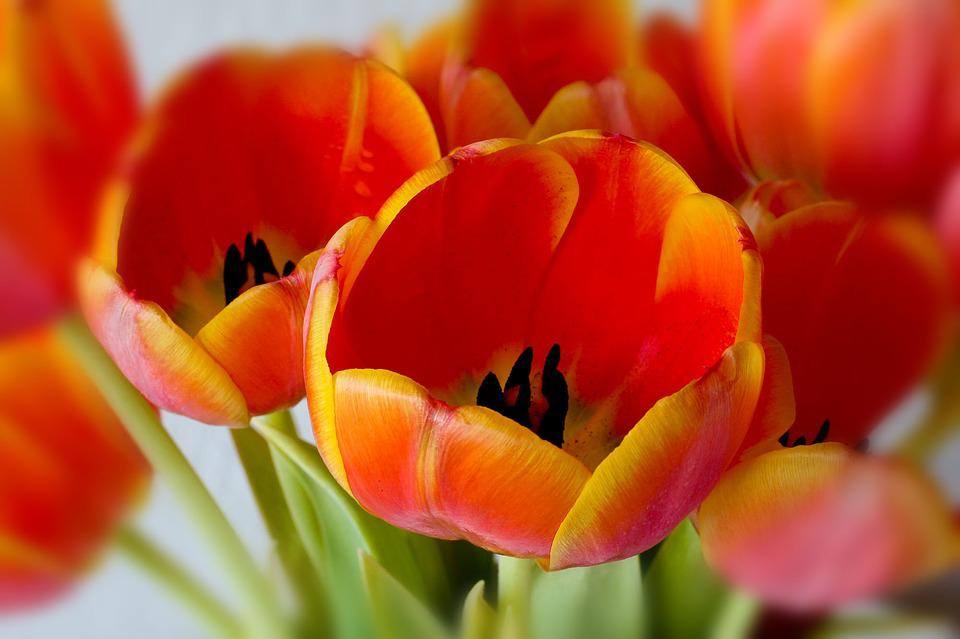 Tulip, Flower, Nature, Bright, Color, Plant, Petal