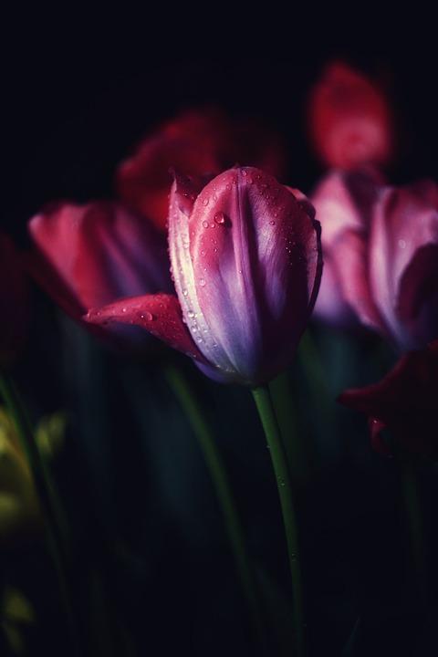 Tulip, Tulips, Flowers, Spring, Garden, Nature
