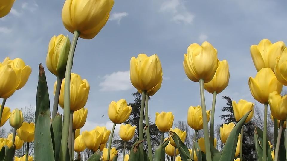 Nature, Tulip, Plant, Flower, Leaves, Garden
