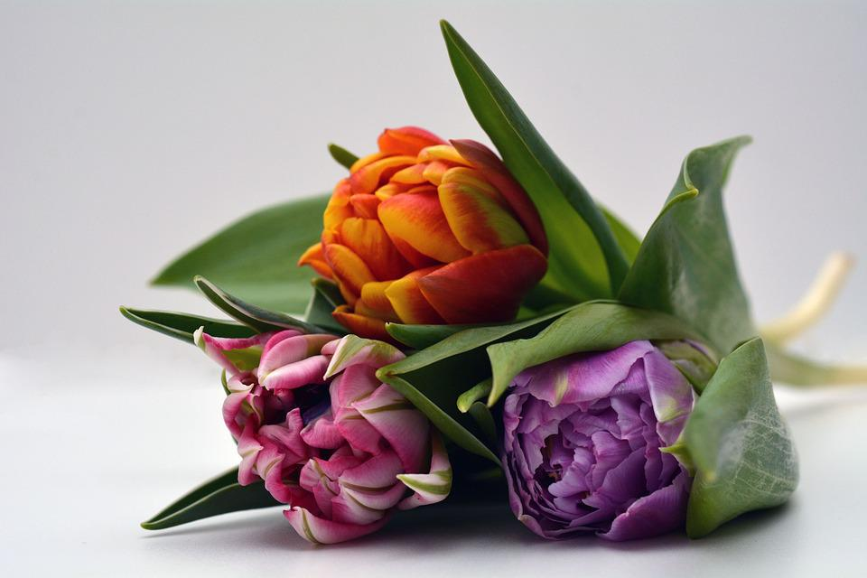 Tulips, Flowers, Orange, Pink, Violet, Nature, Spring