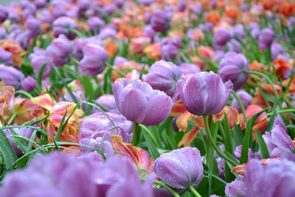 Tulips, Flowers, Spring, Flora, Nature