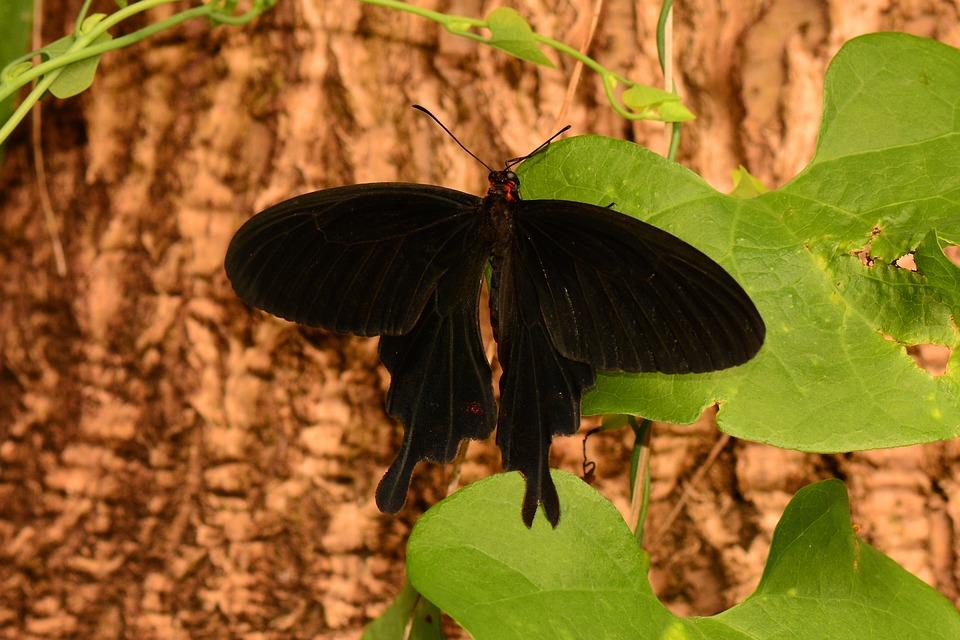 Butterfly, Velvet, Swallowtail, Nature, Wings, Black