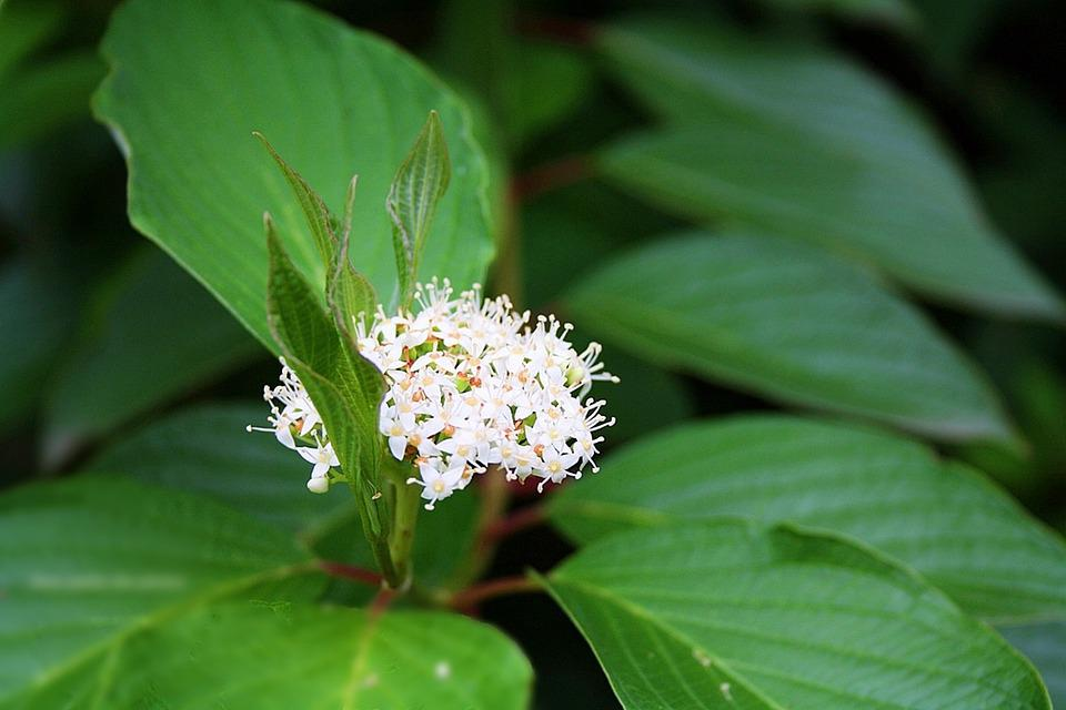 Viburnum, Flowers, White Flower, Nature, Plant