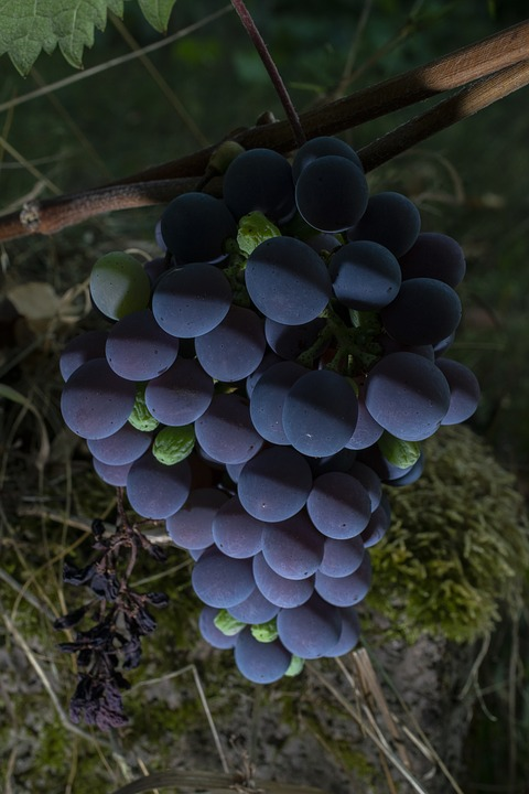 Grapes, Berries, Vine, Wine, Fruit, Grapevine, Nature