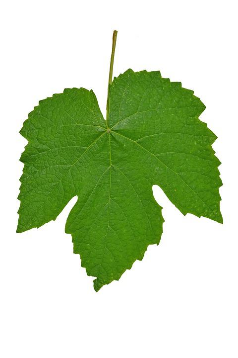 Leaf, Vines, Isolated, Green, Garden, Plant, Nature