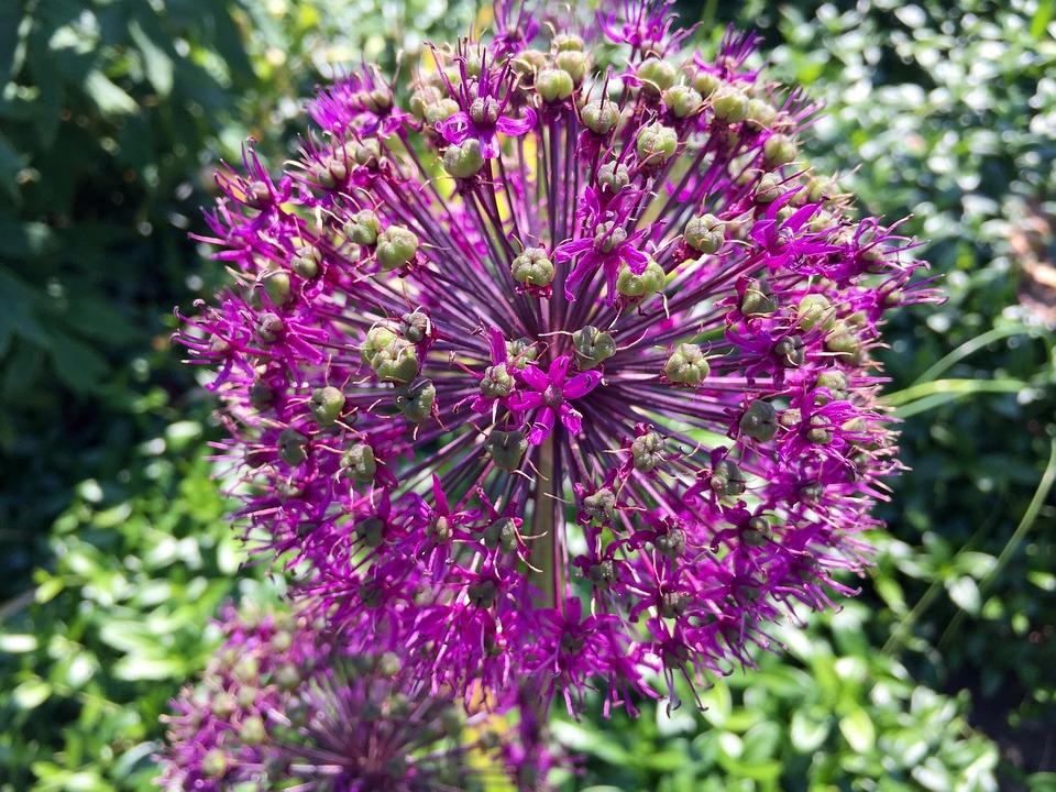 Flower, Flowering, Purple, Pink, Violet, Nature, Floral