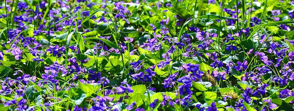 Spring, Violet, Nature, Purple Flowers