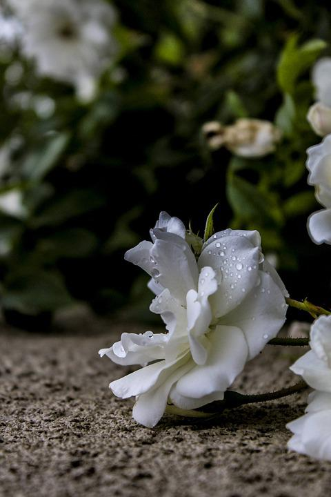 Flower, Wall, Rose, Ground, House, Plant, Nature