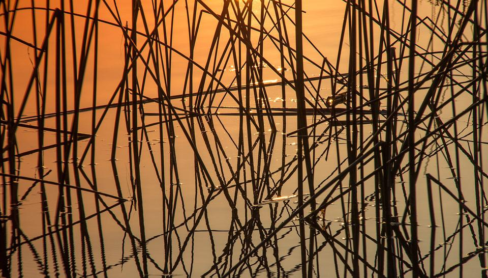Nature, Plant, Reed, Sunrise, Water, Mirroring, Warm
