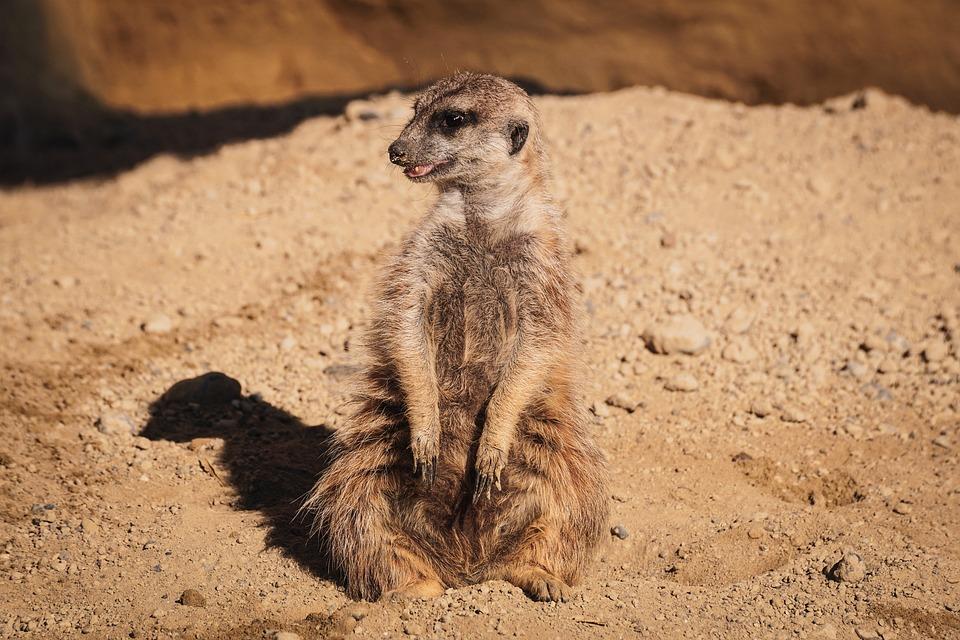Meerkat, Funny, Watch, Zoo, Cute, Mammal, Nature