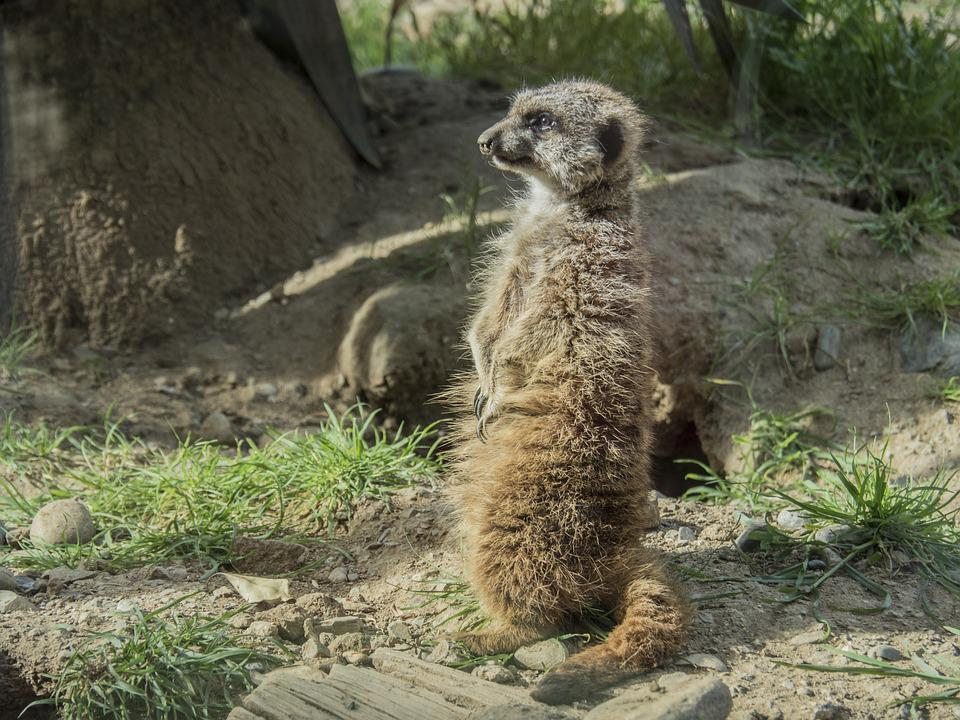 Meerkat, Watchman, Dawn, Look, Alert, Animal, Nature