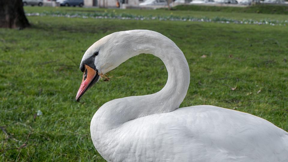 Swan, Nature, Water Bird, Waterfowl, Animal World
