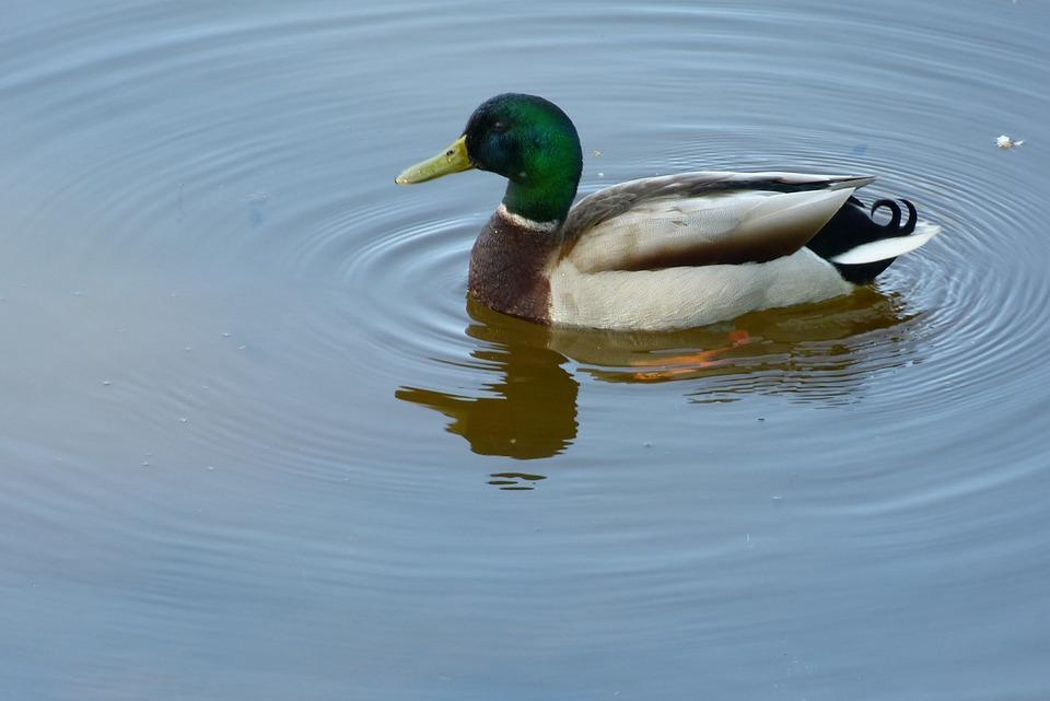 Duck, Drake, Mallard, Water Bird, Animal, Nature, Bill