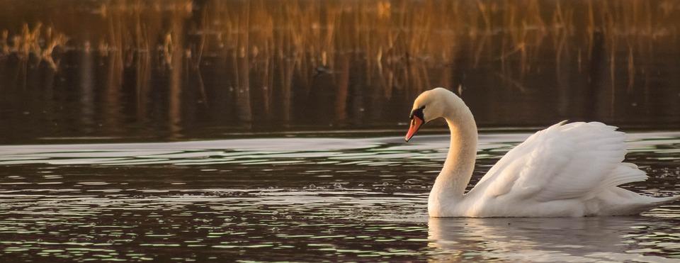 Swan, Birds, Water Bird, Lake, Nature