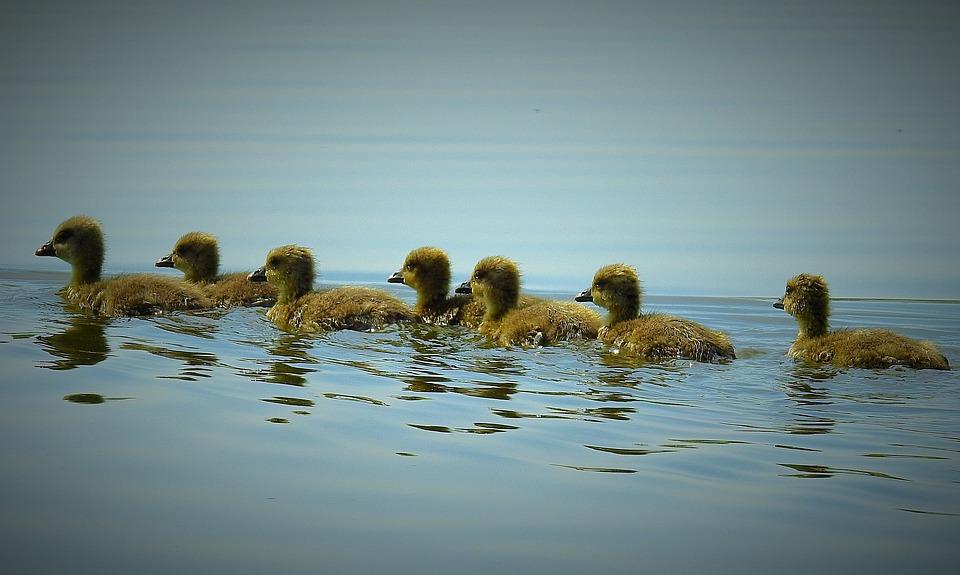 Nature, Birds, Young Wild Geese, Water Bird