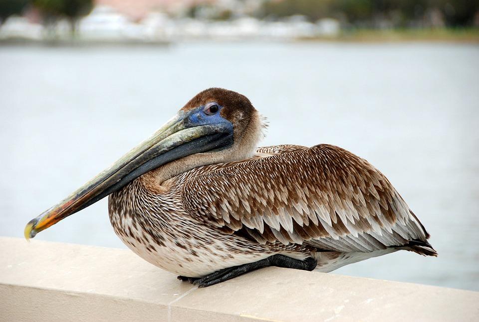 Bird, Pelican, Water Bird, Birds, Nature, Water
