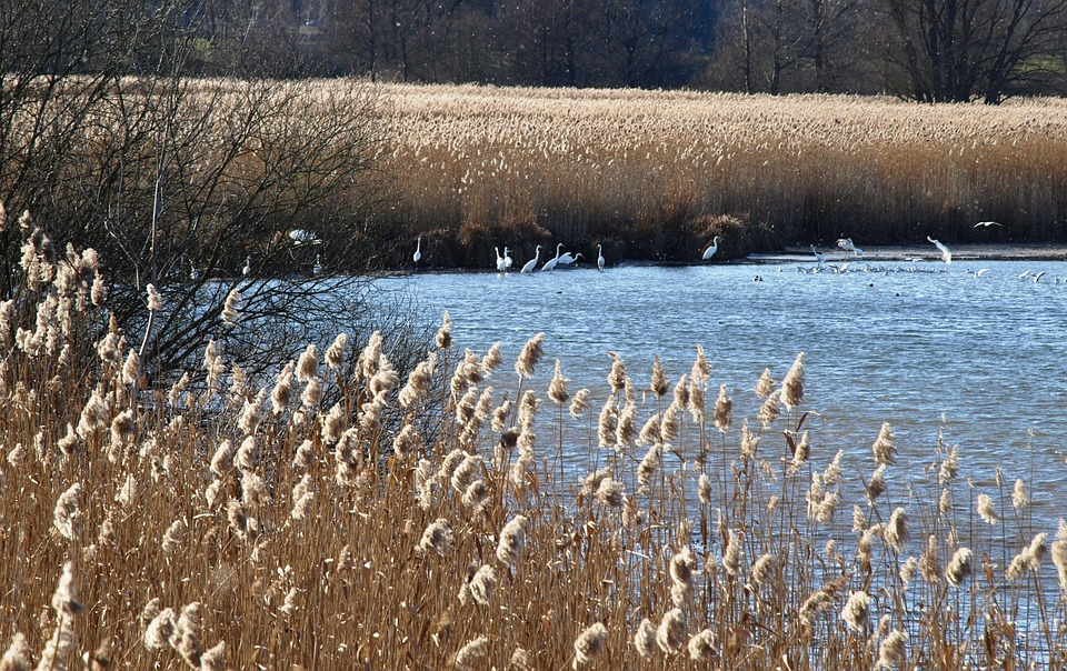 Nature, Chiemsee, Bank, Birds, Water, Reed