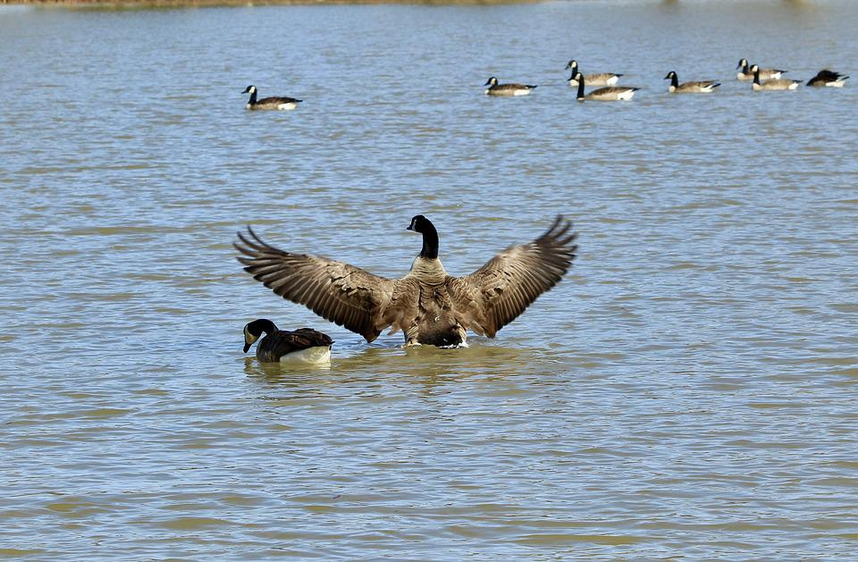 Goose, Water, Nature, Birds, Lake