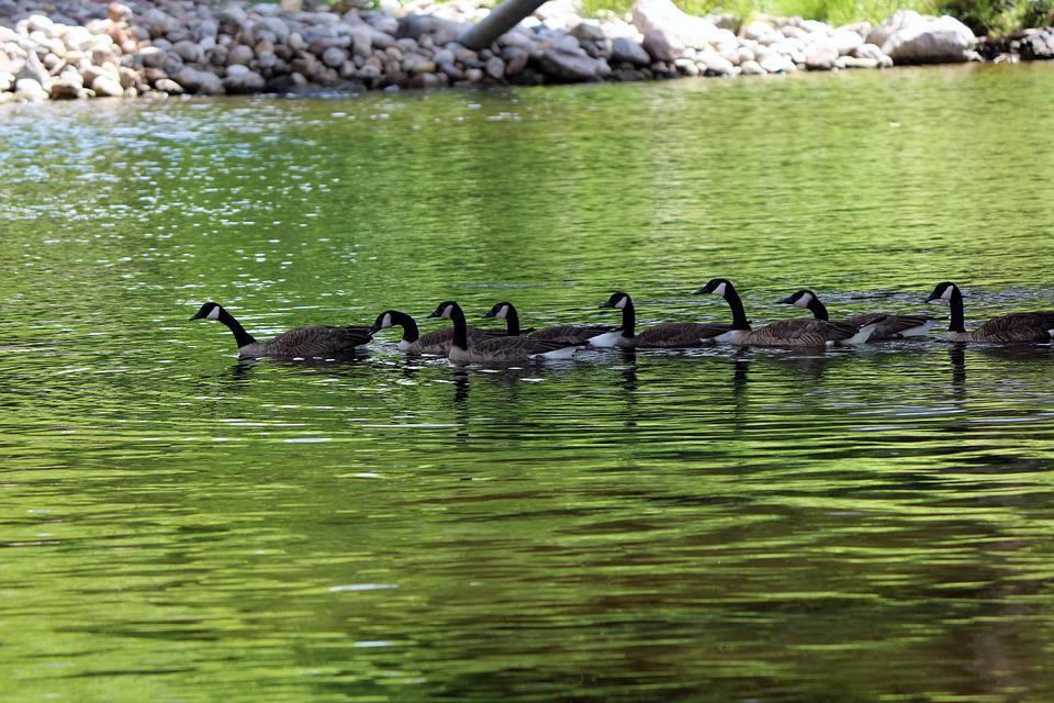 Geese, Nature, Water, Swimming, Animals, Goose, Group