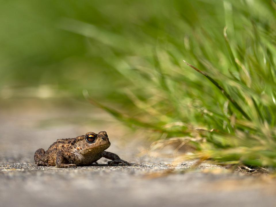 Toad, Frog, Amphibian, Nature, Creature, Animal, Water