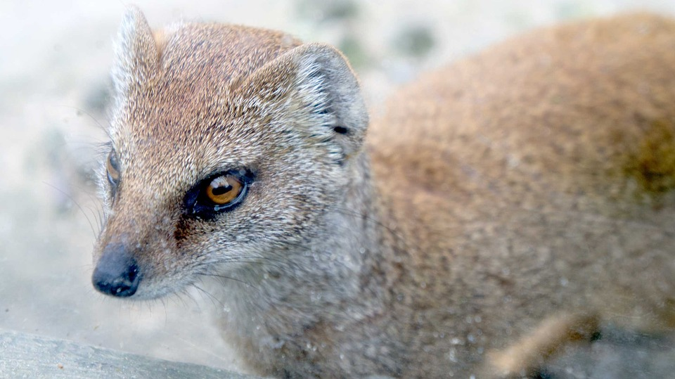 Weasel, Animal, Wild, Wildlife, Nature, Cute, Fur