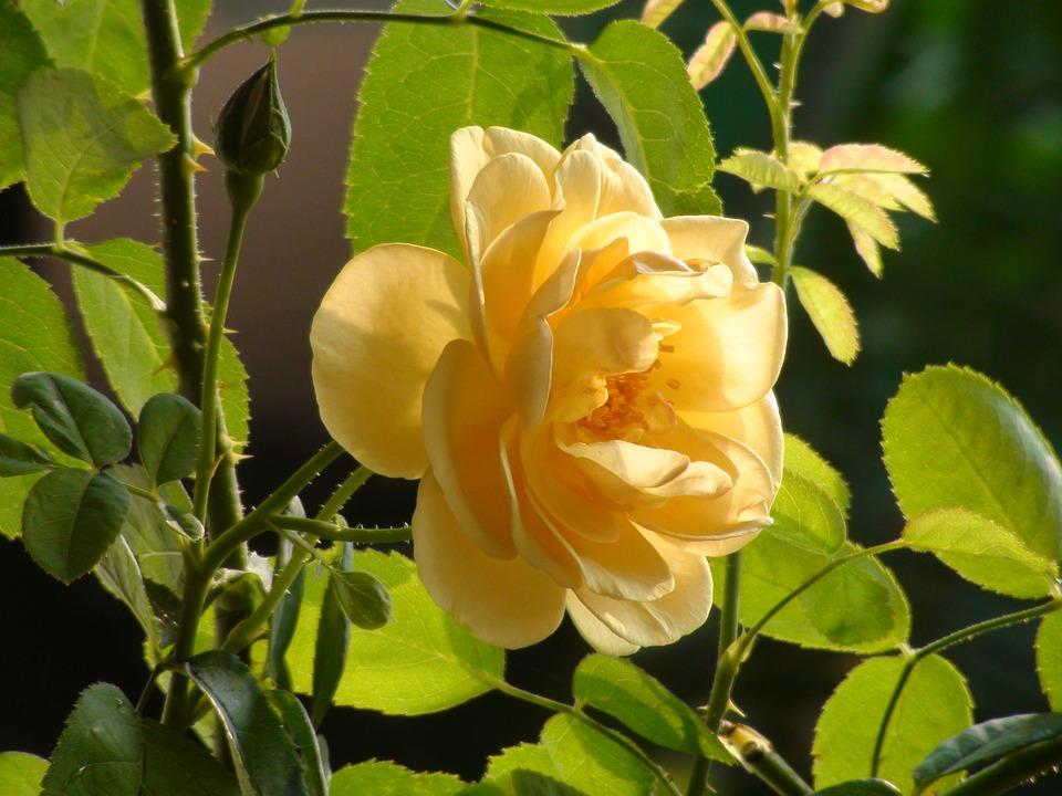 Rose, Yellow, Bloom, Flowers, Blossom, Nature, Wedding