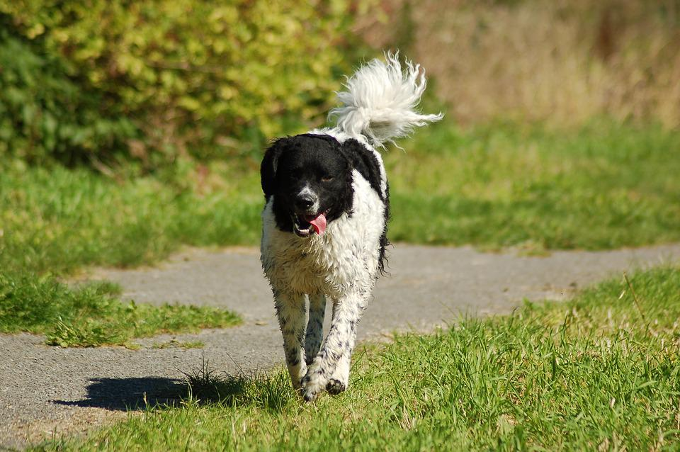 Wetterhoun, Spring, Play, Dog, Nature