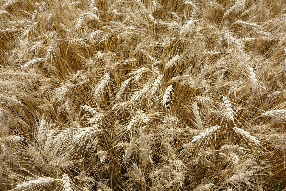 Nature, Straw, Wheat, Crop, Farm, Bread, Cereal