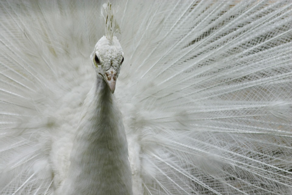 White, Peacock, Animal, Bird, Nature, Feathered