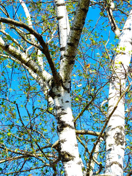 Birch, Tree, White Bark, Sky Blue, Nature