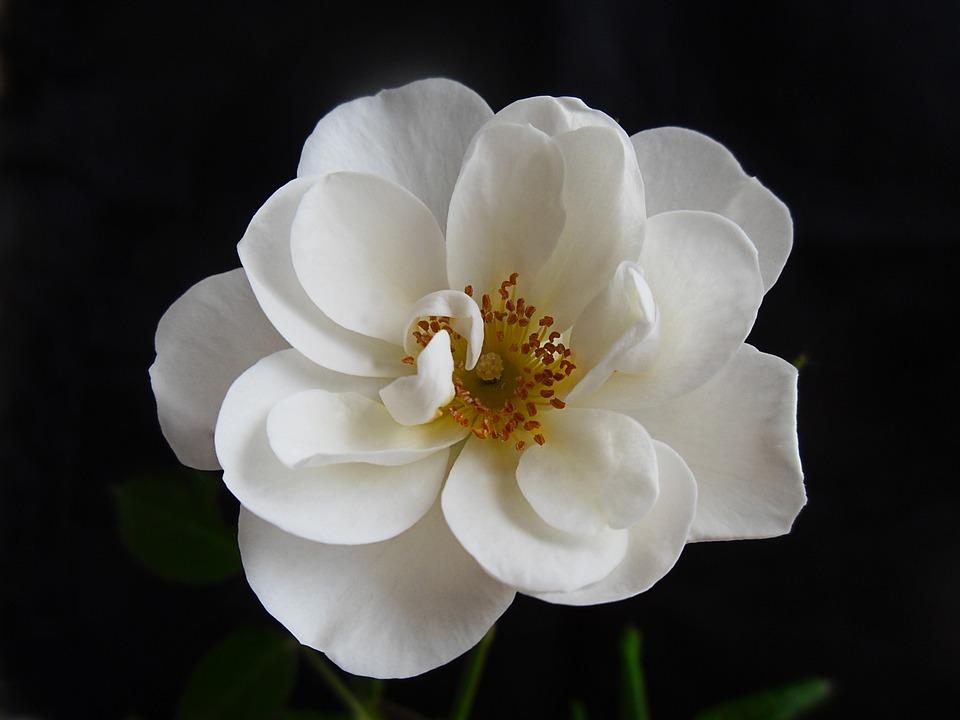 Rose, Flower, Blossom, Bloom, White, Macro, Nature